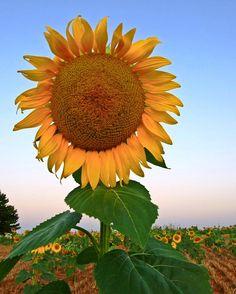 Giant Sunflower by Marvin Bredel, via Flickr