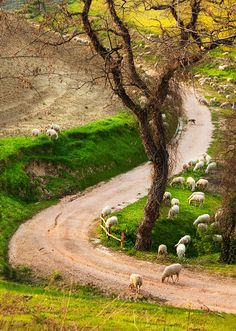 animals, country roads, pathway, back roads, animal crossing, countri road, tuscany italy, dirt roads, the road