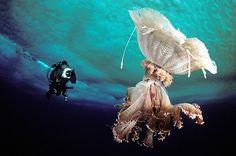 Antarctic jellyfish