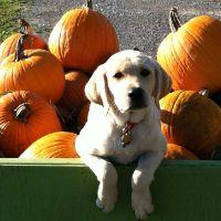 Dog Treat Recipe: Puppy Pumpkin Bites | VetDepot Blog