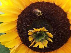 A unique sunflower growing at the Fairbanks Experiment Farm.