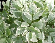 Bishops Weed Aegopodium podagraria. Adapts to wide variety of soil conditions. A very popular groundcover with white flowers. 10 inches high, spreading to 1-2 feet. Cold zones 3-9.