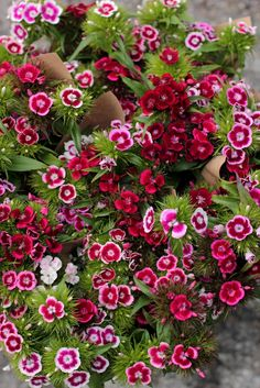 ✯ Dianthus 'Electron'  (I love dianthus as they bloom continuously)