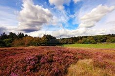 Scottish fields of heather on a sunny day