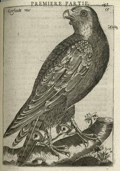 Falconry (1643), Charles d'Arcussia. |
