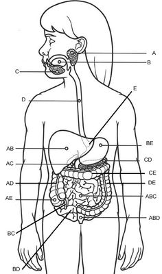 Digestive System Labeling -   Anatomy Corner, resources for students and teachers