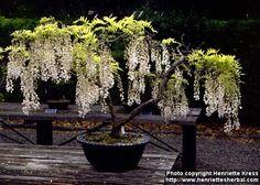 wisteria bonzai.