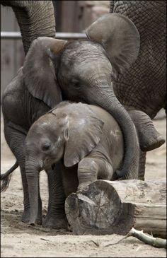 baby elephants!
