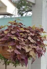 Ipomoea 'Sweetheart Purple' pot - Google Search