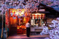Philosopher's Walk cherry blossom : Kyoto, Japan