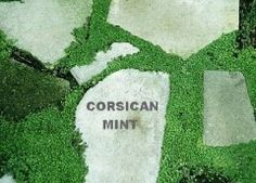 "Corsican mint can be trained to go between some pavers. It is very low growing, it is supposed to be able to ""be trod upon"" and it smells wonderful!"