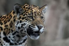 Don't mess with this jaguar.