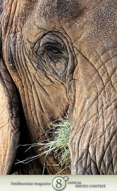 Eye of Elephant by Miachelle Depiano via smithsonianmag. #Elephant #Photography #smithsonianmag #Miachelle_Depiano