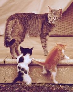 training, kitty cats, anim, mothers, funny cats, famili, learning, kids, kittens