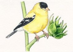 Goldfinch and Sunflower Bud Art Print of Watercolor Bird Painting 5x7