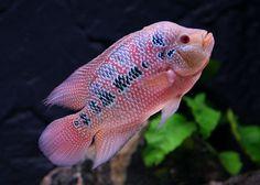 pink flower horn fish