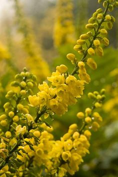 The Oregon grape sports canary yellow flowers in spring atop a cradle of prickly evergreen leaves. Edible berries follow and ripen to a metallic blue-black by fall.