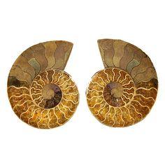 Madagascan Ammonite