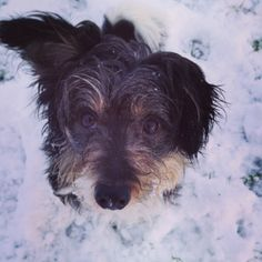 Poodle cross jack Russell in the snow
