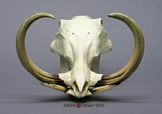 Warthog Skull and Tu
