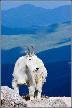 Mountain Goat, Mount Evans, 14,264' Colorado
