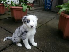 Blue Merle Collie. So beautiful a puppy. Wow.