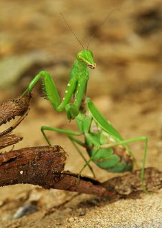 Praying Mantis <3