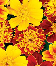 Marigold, Chameleon. Bred to produce huge variance in yellow, orange, and red.   Vigorous and bushy 10'' plants. 1 pkt. (50 seeds) $3.95