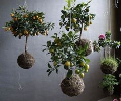 http://www.tumblr.com/tagged/indoor%20plants Kokedama are made by transferring your plant out of its pot and into a ball of soil held together with moss and string. String gardens take this tradition a step further by suspending these little green worlds in the air. They're a great way to bring the outdoors inside of your home.
