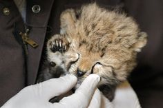 After being fed milk from a bottle, a one-month-old female cheetah cub, that was delivered via a rare caesarian section, has her face cleaned by cheetah keeper Gil Myers at the National Zoo in Washington, Wednesday, May 23, 2012.