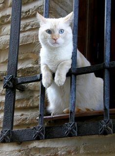 Blue-eyed white cat looking from a window.. | Flickr - Photo by josago