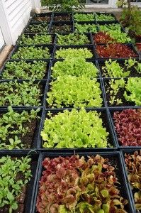 Guide to Growing Lettuces There are two main types of lettuce, the cabbage and the cos, and a great many varieties of each differing in colour, crispness, size and season. Lettuces like a well-dug,...