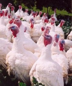 If you are just beginning to learn how to raise turkeys, you need to do any of research. While turkeys are relatively easy to raise there are...