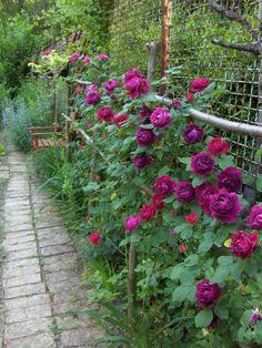 'Baron Girod de l'Ain' (1897) Hybrid Perpetual rose   Busy Bee
