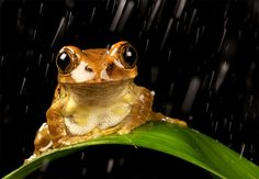 peacock tree frog loves rain