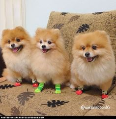 Fluffy Pomeranians • APlaceToLoveDogs.com • dog dogs puppy puppies cute doggy doggies adorable funny fun silly photography