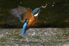 Kingfisher erupting by Noel Marry