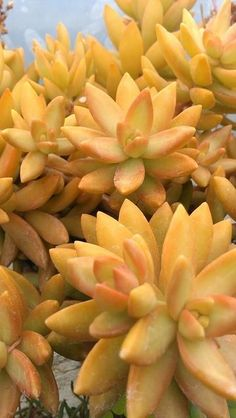 adolphii beauti, garden idea, flowers garden, sedum adolphii, beauti color