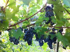 Jus de raisin au petit déjeuner / Grape juice for breafast