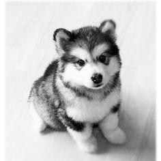 Pomsky (Pomeranian + Husky) = Christmas present
