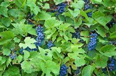 List of Edible Wild Plants in North Carolina