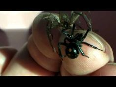 Brown Recluse and Black Widow on my hand at the same time--this guy is a friend of ours. :-)