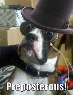 Baffled Boxer dog