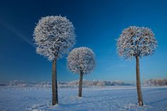Lithuania trees with ice