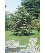 Chinese Dogwood (Cornus kousa chinensis) - Monrovia - Chinese Dogwood (Cornus kousa chinensis)