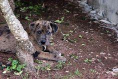 catahoula leopard hound mix #loveit