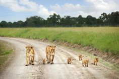 Two lionesses and their cubs...
