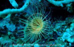 coral fluorescence | ... , Korallenfluoreszenz / Fluorescence Anemone, Coral fluorescence