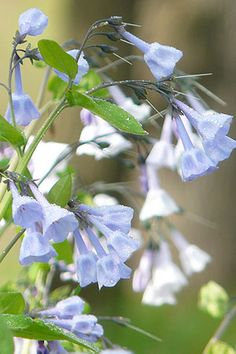 Virginia Bluebells  Mertensia virginica  Sun:Partial,Shade   Soil:Sand,Loam,Clay   Moisture:Medium,Moist   Height:1'-2'   Bloom Time:Apr-May   Color:blue,pink   Zone:4   Spacing:1'   Mertensia virginica (Virginia Bluebells) is a woodland favorite and a true harbinger of spring! The distinctive blue-pink flowers appear soon after the snows of winter are gone. Long-lived, it expands slowly to form beautiful clumps that return year after year. Does best in rich, moist soil.