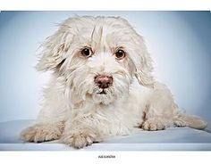 Pictures of Alessandra a Havanese Mix for adoption in New York, NY who needs a loving home.